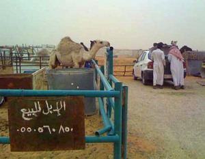 Camel_market_1